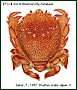 Frog crab, red