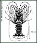 Scalloped spiny lobster
