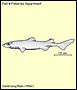Whitefin dogfish